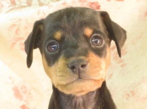 ミニチュアピンシャーの子犬(ID:1267711072)の1枚目の写真/更新日:2017-12-21