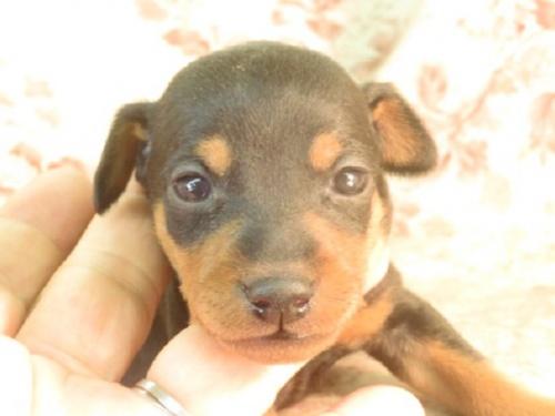 ミニチュアピンシャーの子犬(ID:1267711073)の1枚目の写真/更新日:2019-03-09