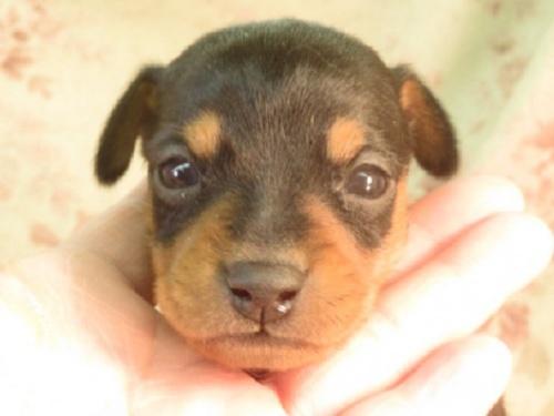 ミニチュアピンシャーの子犬(ID:1267711074)の1枚目の写真/更新日:2017-12-07