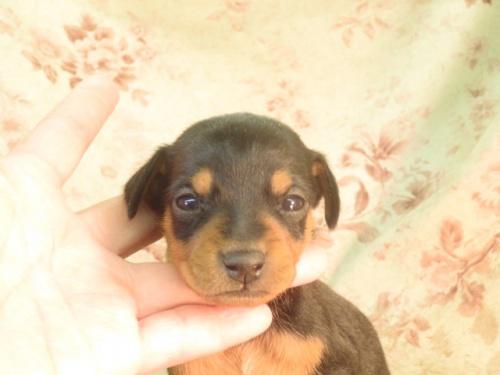 ミニチュアピンシャーの子犬(ID:1267711074)の3枚目の写真/更新日:2021-09-13