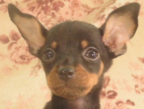 ミニチュアピンシャーの子犬(ID:1267711077)の1枚目の写真/更新日:2017-12-29