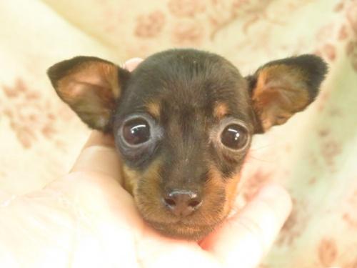 ミニチュアピンシャーの子犬(ID:1267711077)の2枚目の写真/更新日:2017-12-29