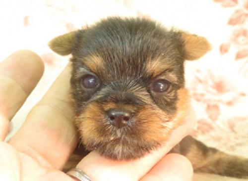 ヨークシャーテリアの子犬(ID:1267711079)の1枚目の写真/更新日:2018-01-12