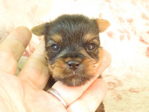 ヨークシャーテリアの子犬(ID:1267711079)の3枚目の写真/更新日:2018-02-08