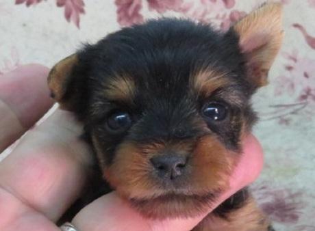 ヨークシャーテリアの子犬(ID:1267711080)の1枚目の写真/更新日:2018-01-12