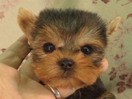ヨークシャーテリアの子犬(ID:1267711082)の1枚目の写真/更新日:2018-01-23