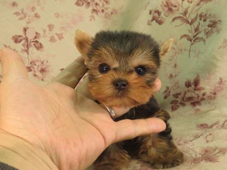 ヨークシャーテリアの子犬(ID:1267711082)の2枚目の写真/更新日:2018-09-10