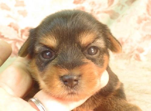 ヨークシャーテリアの子犬(ID:1267711085)の1枚目の写真/更新日:2018-12-20