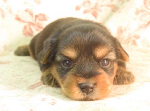 ヨークシャーテリアの子犬(ID:1267711085)の2枚目の写真/更新日:2018-03-15