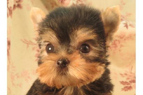 ヨークシャーテリアの子犬(ID:1267711086)の1枚目の写真/更新日:2018-12-20