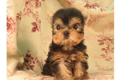 ヨークシャーテリアの子犬(ID:1267711086)の2枚目の写真/更新日:2018-12-20