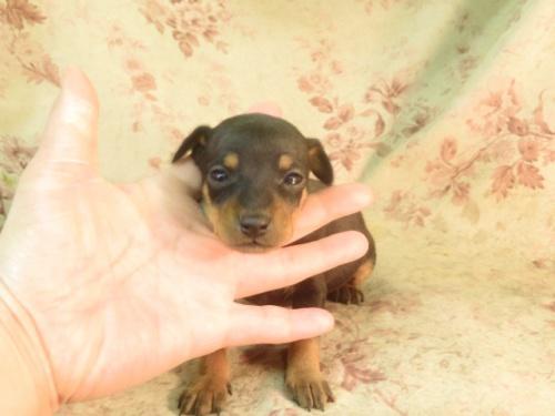 ミニチュアピンシャーの子犬(ID:1267711087)の4枚目の写真/更新日:2018-03-15