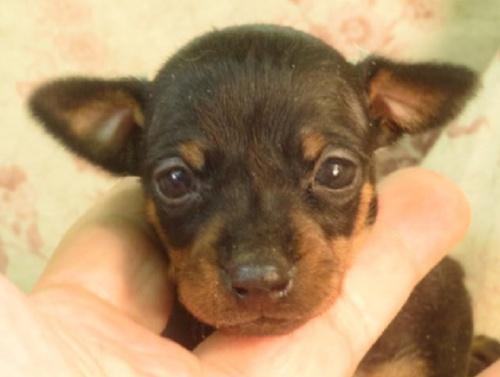 ミニチュアピンシャーの子犬(ID:1267711089)の1枚目の写真/更新日:2018-03-15