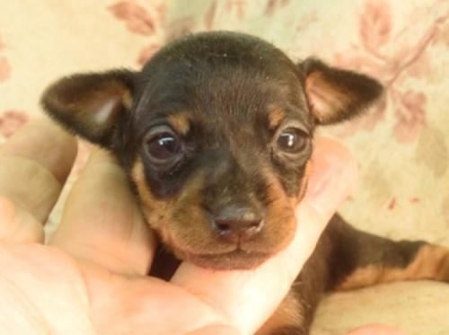 ミニチュアピンシャーの子犬(ID:1267711089)の2枚目の写真/更新日:2021-09-13