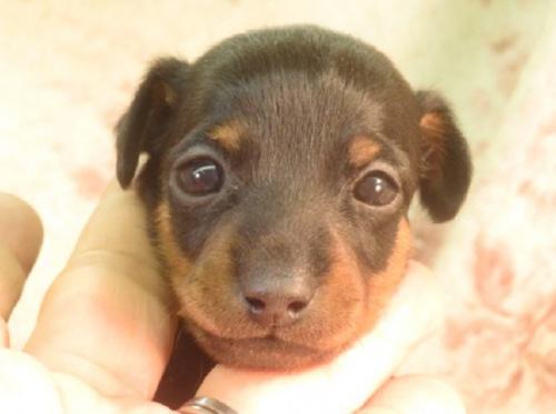 ミニチュアピンシャーの子犬(ID:1267711090)の1枚目の写真/更新日:2018-03-15