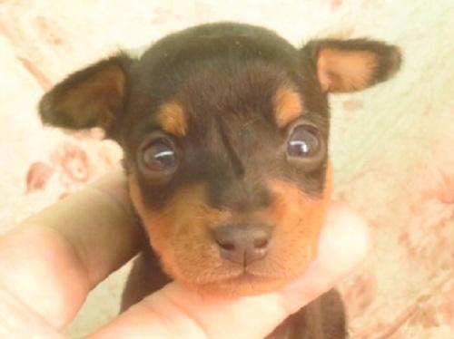 ミニチュアピンシャーの子犬(ID:1267711091)の1枚目の写真/更新日:2018-03-15