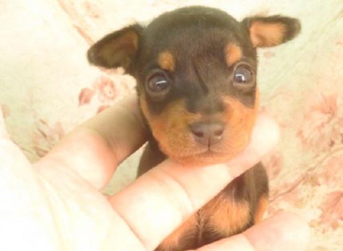 ミニチュアピンシャーの子犬(ID:1267711091)の2枚目の写真/更新日:2019-11-04