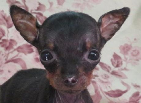ミニチュアピンシャーの子犬(ID:1267711094)の1枚目の写真/更新日:2019-11-04
