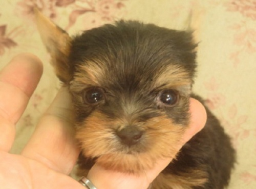 ヨークシャーテリアの子犬(ID:1267711098)の1枚目の写真/更新日:2018-04-23