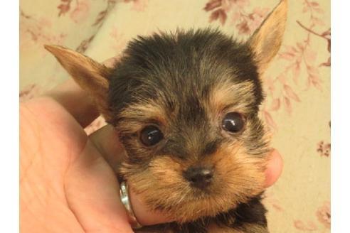 ヨークシャーテリアの子犬(ID:1267711101)の1枚目の写真/更新日:2018-05-21