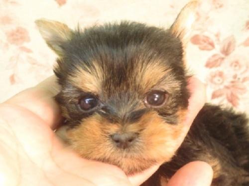 ヨークシャーテリアの子犬(ID:1267711102)の1枚目の写真/更新日:2020-04-04