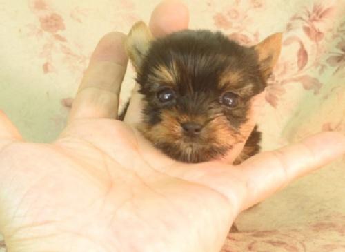 ヨークシャーテリアの子犬(ID:1267711103)の3枚目の写真/更新日:2021-10-05