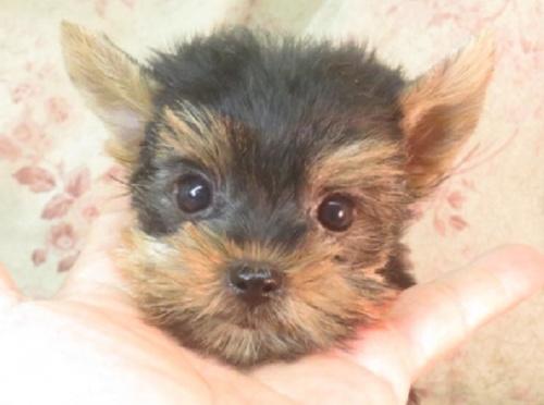 ヨークシャーテリアの子犬(ID:1267711104)の1枚目の写真/更新日:2018-05-05