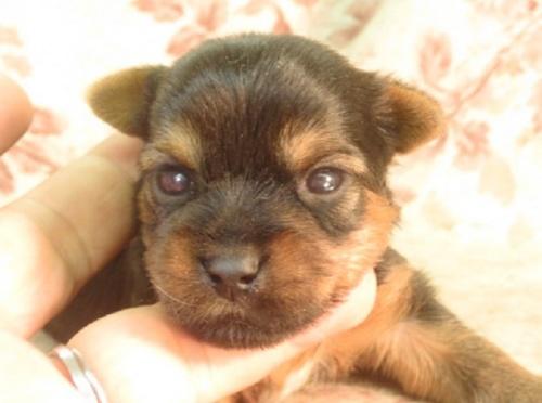 ヨークシャーテリアの子犬(ID:1267711108)の1枚目の写真/更新日:2018-06-26