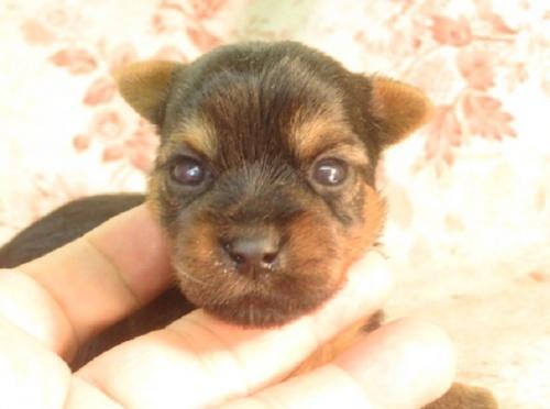 ヨークシャーテリアの子犬(ID:1267711108)の2枚目の写真/更新日:2018-06-26