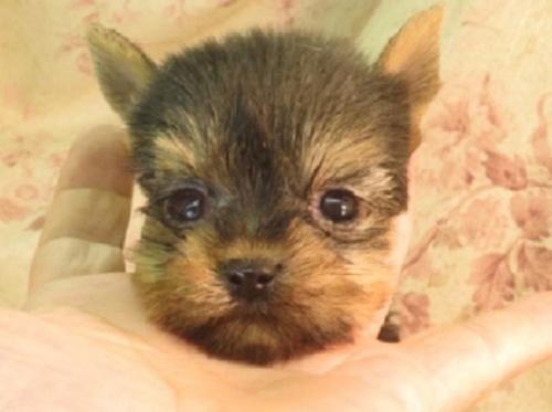 ヨークシャーテリアの子犬(ID:1267711109)の1枚目の写真/更新日:2018-12-20