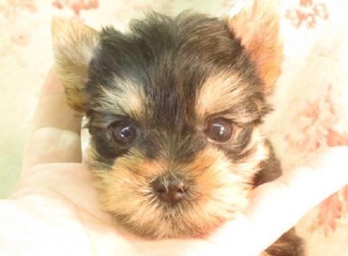 ヨークシャーテリアの子犬(ID:1267711111)の1枚目の写真/更新日:2018-06-19