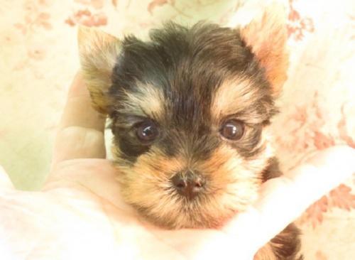 ヨークシャーテリアの子犬(ID:1267711111)の2枚目の写真/更新日:2019-06-14