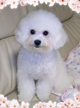 ビションフリーゼの子犬(ID:1267811002)の1枚目の写真/更新日:2017-05-20