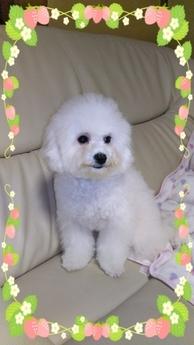 ビションフリーゼの子犬(ID:1267811002)の2枚目の写真/更新日:2017-05-20