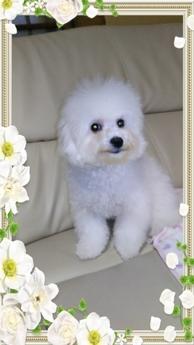 ビションフリーゼの子犬(ID:1267811002)の3枚目の写真/更新日:2017-03-13