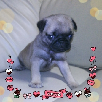 パグの子犬(ID:1267811003)の2枚目の写真/更新日:2017-02-28