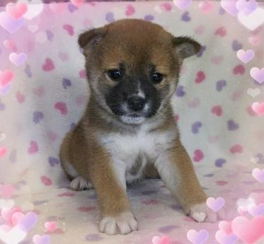 柴犬の子犬(ID:1267811004)の1枚目の写真/更新日:2017-02-28