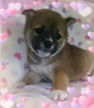柴犬の子犬(ID:1267811004)の3枚目の写真/更新日:2017-02-28