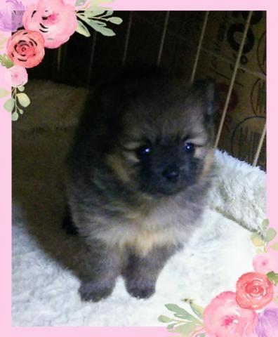 柴犬の子犬(ID:1267811005)の1枚目の写真/更新日:2017-03-13
