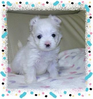 マルチーズの子犬(ID:1267811007)の1枚目の写真/更新日:2017-03-06
