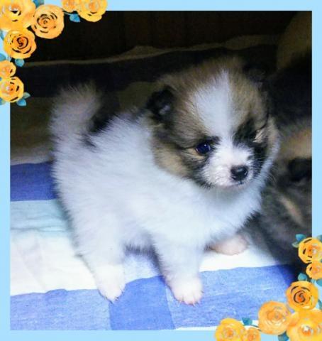 トイプードルの子犬(ID:1267811008)の1枚目の写真/更新日:2017-03-31