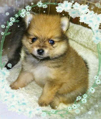 トイプードルの子犬(ID:1267811009)の1枚目の写真/更新日:2017-04-19
