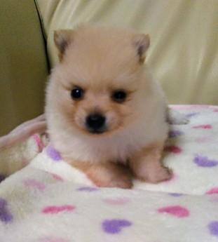 ポメラニアンの子犬(ID:1267811011)の1枚目の写真/更新日:2017-06-27
