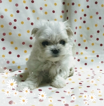 マルチーズの子犬(ID:1267811012)の2枚目の写真/更新日:2017-07-03