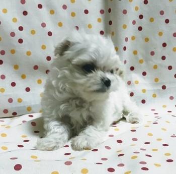 マルチーズの子犬(ID:1267811012)の3枚目の写真/更新日:2017-07-03