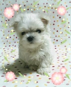 マルチーズの子犬(ID:1267811013)の1枚目の写真/更新日:2017-07-03