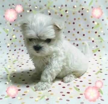 マルチーズの子犬(ID:1267811013)の2枚目の写真/更新日:2017-07-03