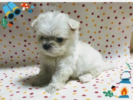 マルチーズの子犬(ID:1267811013)の3枚目の写真/更新日:2017-07-03