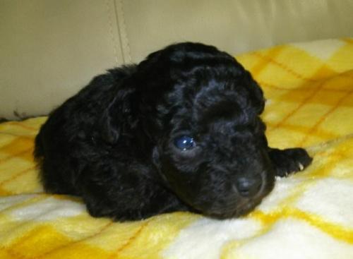 トイプードルの子犬(ID:1267811014)の2枚目の写真/更新日:2019-01-04