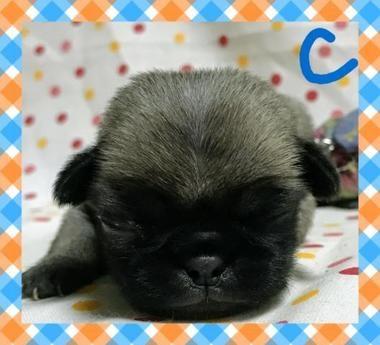 パグの子犬(ID:1267811015)の1枚目の写真/更新日:2017-07-17